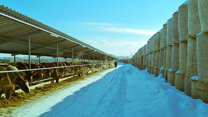 Новая партия племенного скота завезена на ферму